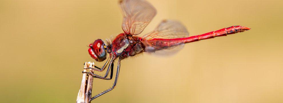 Odonata dk   Amazing world of dragonflies and damselflies